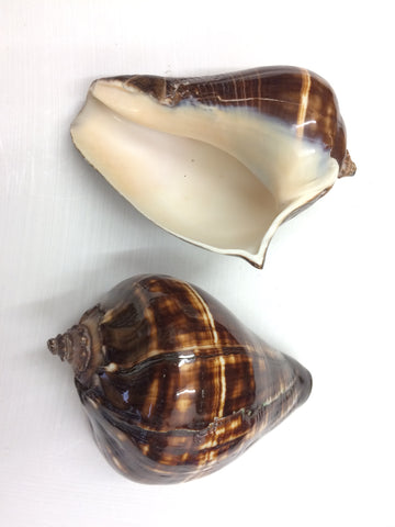 1 x Polished Melongena - Orange/ brown shell - 12.5cm - Sea  Shels large Shells - Paradise Crow -  Natural Design & Interiors