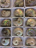 Iridescent Ammonite Boxed Fossil - high quality fossil- fossil collection - Paradise Crow -  Natural Design & Interiors