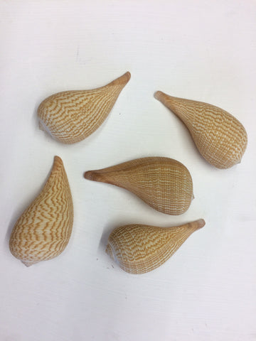 5 x Graceful Fig Sea Shells - Ficus Gracilis  12cm+ - Sea Shells - Natural Decor - Paradise Crow -  Natural Design & Interiors