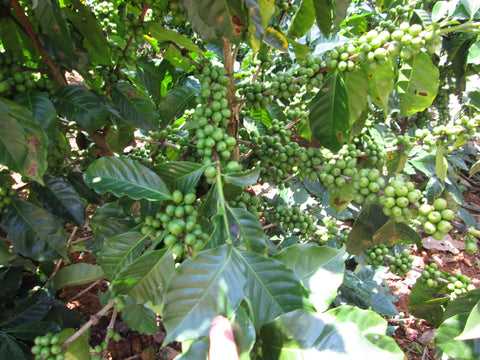 Perfect coffee cherries growing in San Antonio Huista