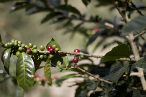 Coffee Growing at La Cabaña