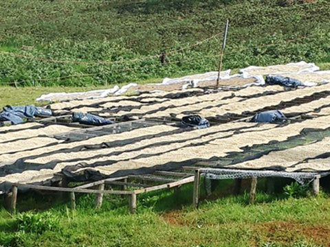 Bourbon coffee drying on raised beds in Rwanda