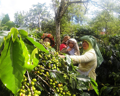 Coffee picking at Jagong Mill