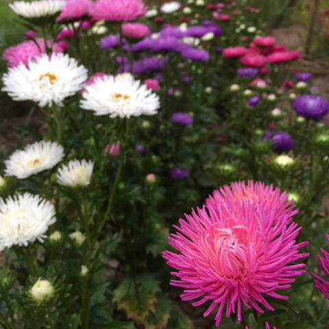 an everlasting garden a guide to growing harvesting and enjoying everlastings