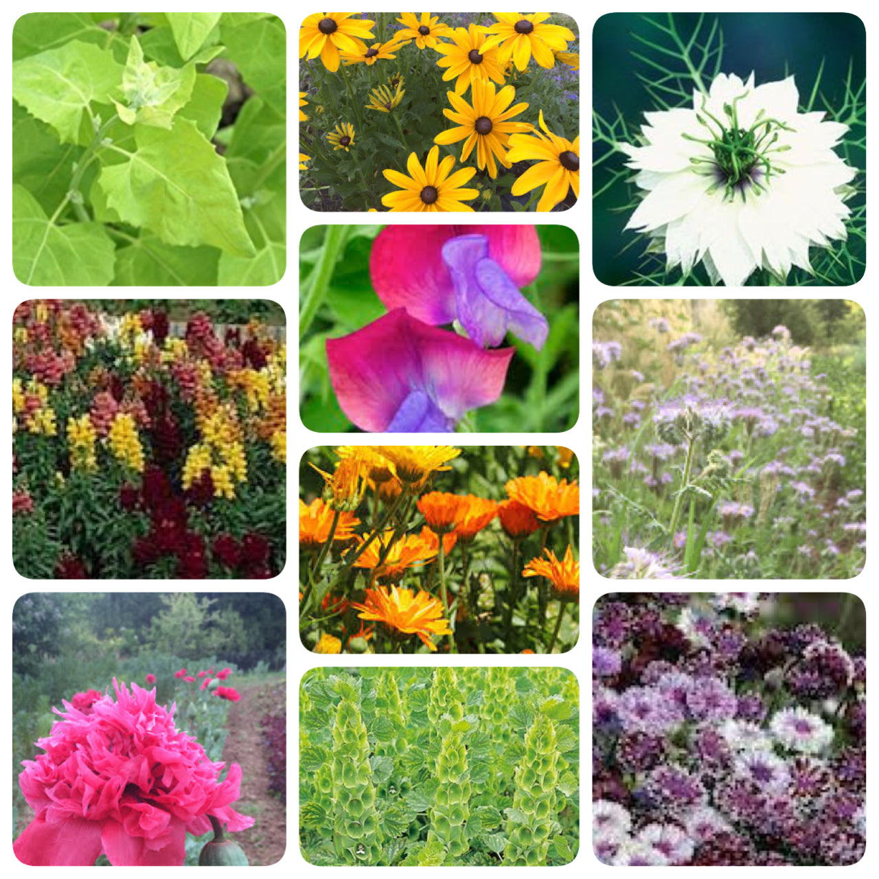 Flowers annual siskiyou seeds cool season flowers collection izmirmasajfo