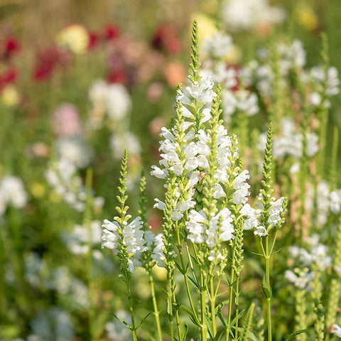 Obedient Plant Siskiyou Seeds