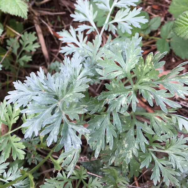 Image result for wormwood