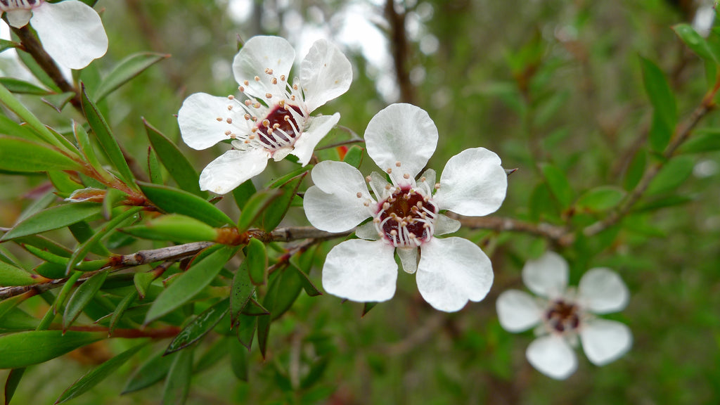 Is Tea Tree Oil Good For Acne?