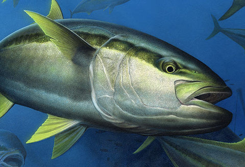 Yellowtail painting - finished