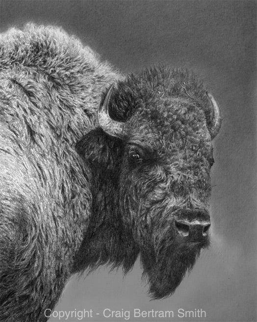 a pencil drawing of an american bison