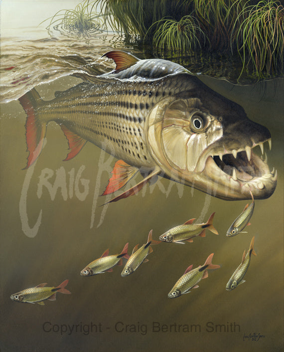tigerfish chasing bait fish amongst the papyrus