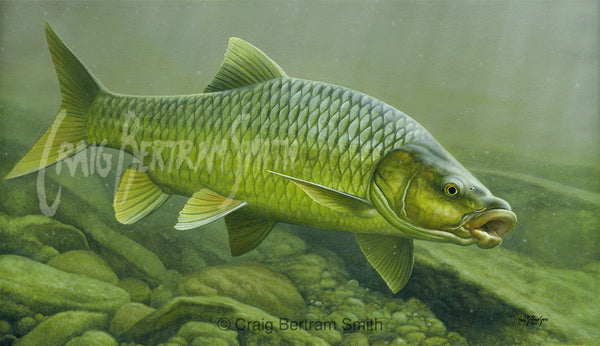 Smallmouth Yellowfish (Canvas Print)