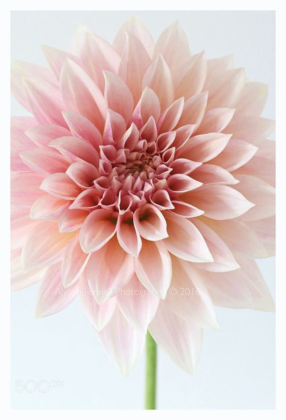 6420e5875 Below we've listed some other seasonal favourites and the meanings behind  those: Dahlia