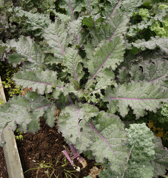 Red Russian Organic Kale