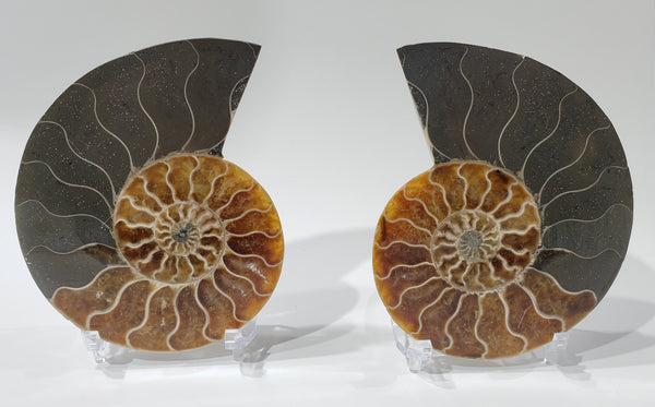 Ammonite Pair, Madagascar