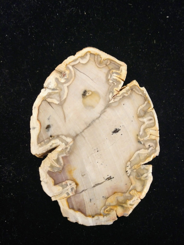 Petrified Wood Slices from Madagascar