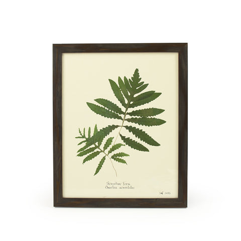 Botanical Sensitive Onoclea Sensibilis Wall Art Print