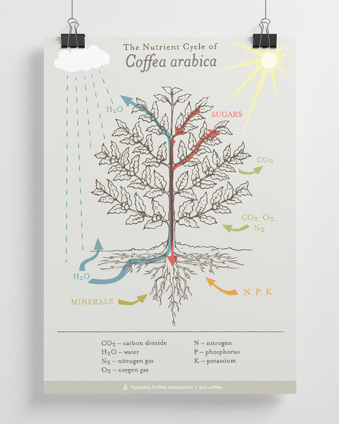 The Nutrient Cycle of Coffea Arabica Poster