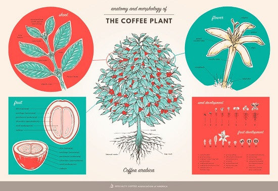 The Anatomy and Morphology of the Coffee Plant