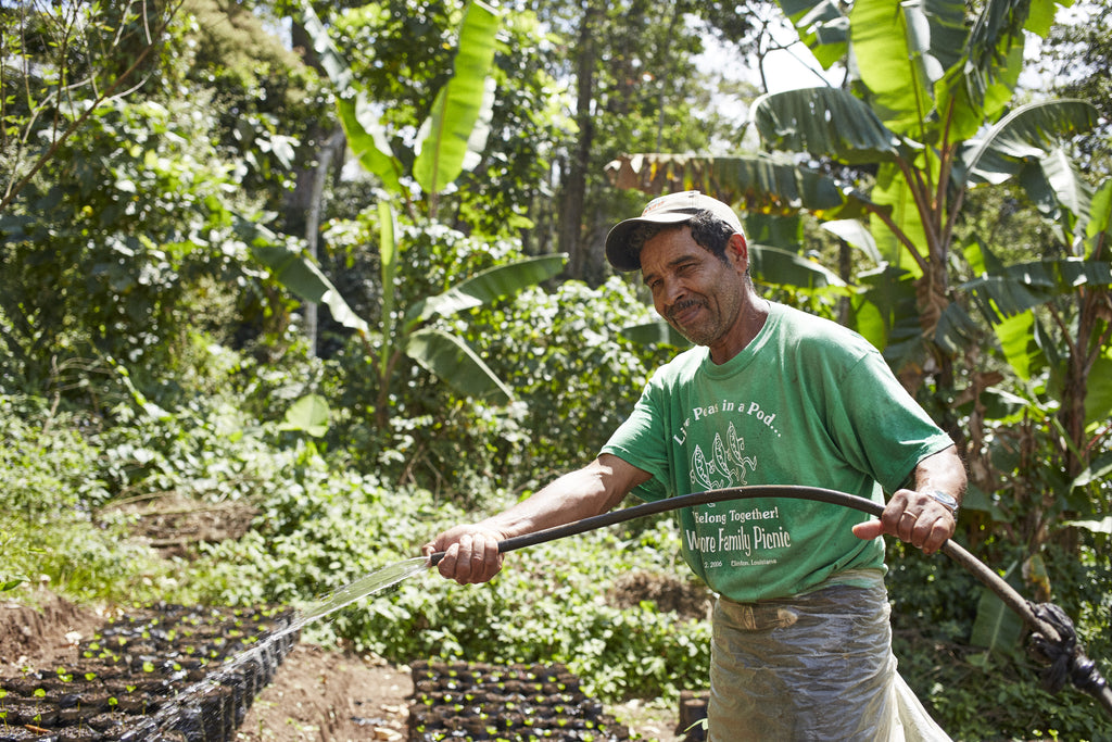 Placeres farm worker watering juvenile coffee plants
