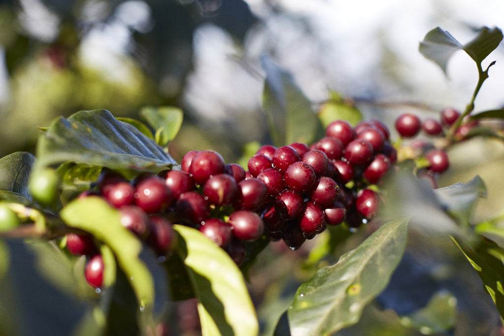 Coffee cherries at the Pacas farm El Salvador
