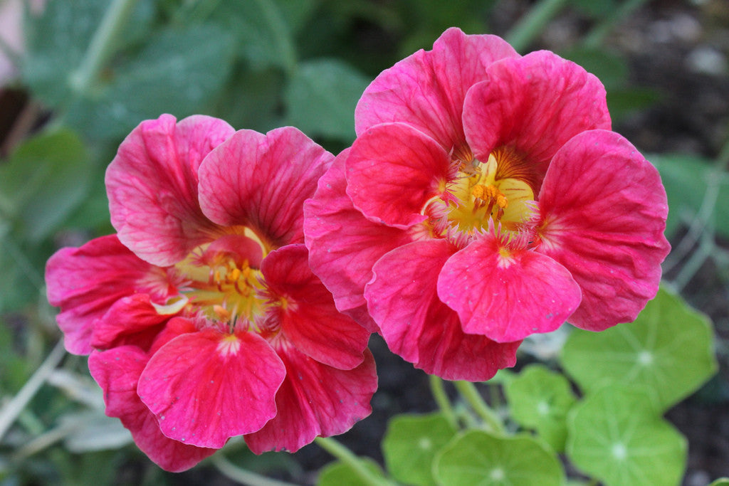 Your free gift - Nasturtium Cherry Rose