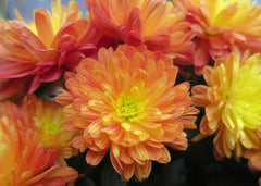 chrysanthemums for your window box