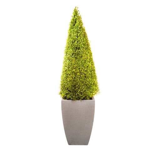 Hotel Collection Vase planted with Buxus Pyramid Stem tree - Bay and Box