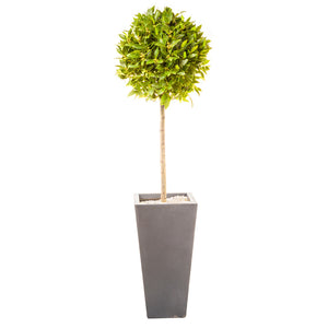 Society Vase planted with bay tree - Bay and Box