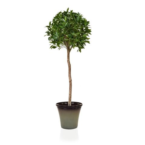 Artificial Bay tree - with choice of black planter
