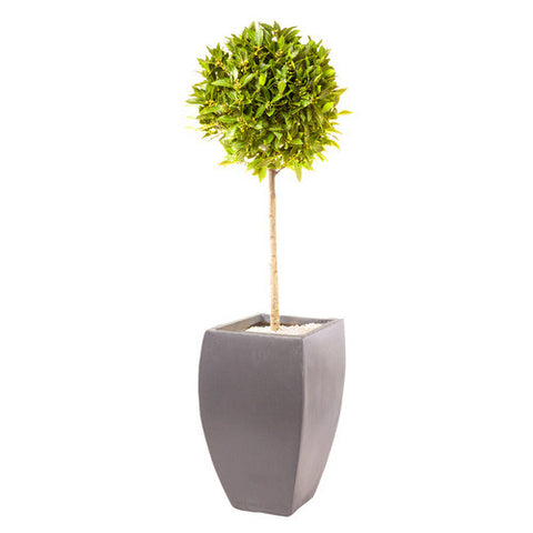 Hotel Collection Vase planted with a bay tree - Bay and Box