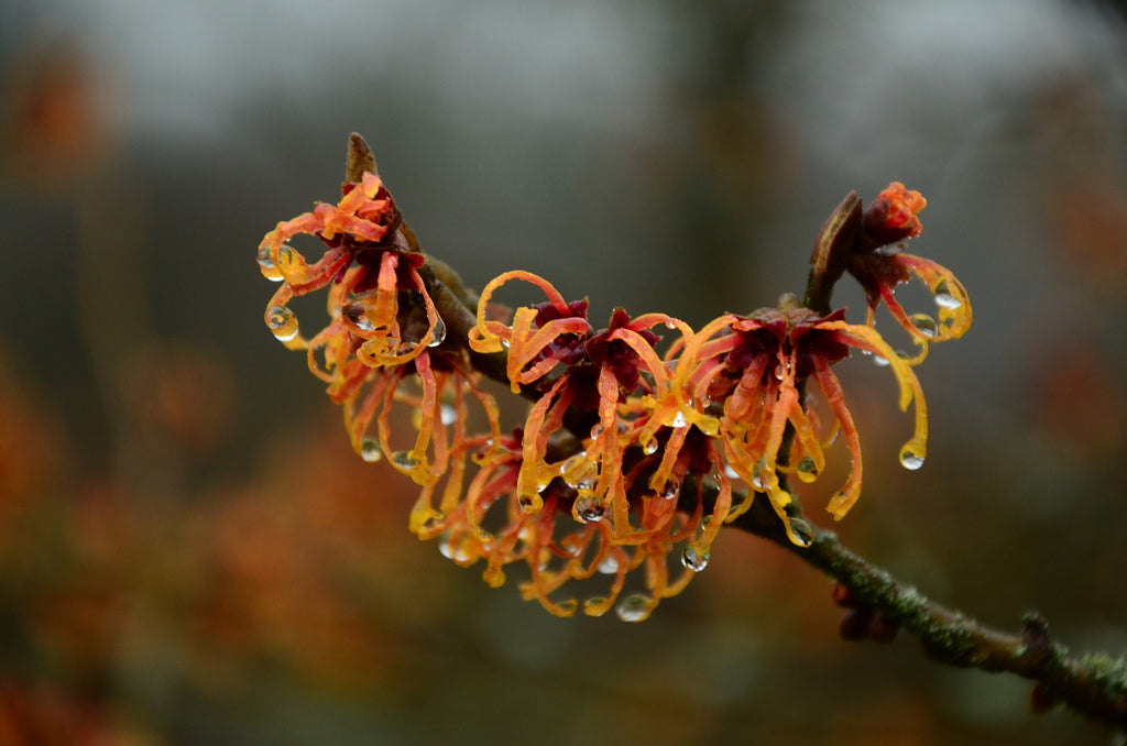 The many benefits of Witch Hazel