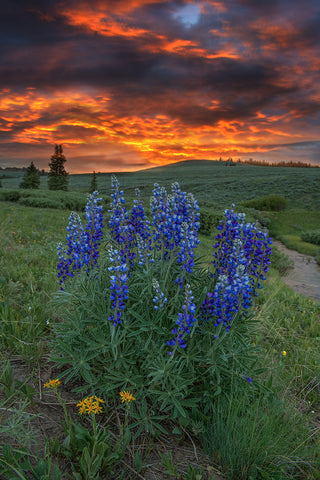 Big Horn Lupines