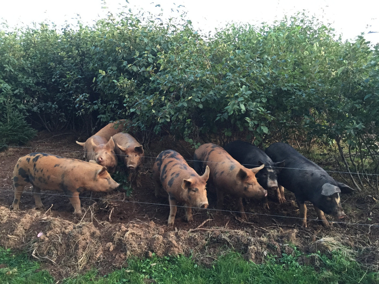 The pigs doing some reclamation work.