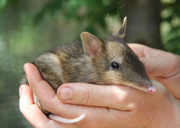 eastern barred bandicoot sonder leather