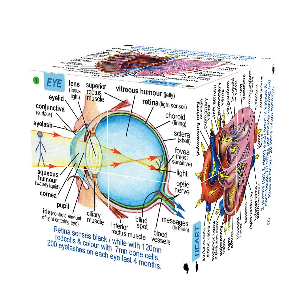 Human Body Cube Book, showing eye and heart sides