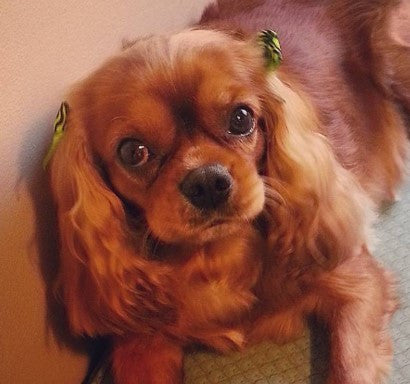 Ginger, a Ruby Cavalier King Charles Spaniel