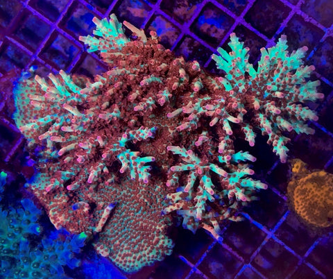 Aussie Strawberry Shortcake Acropora 3