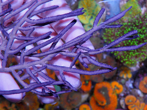 Violet Edged Gorgonian Pterogorgia citrina medium