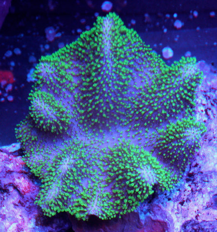 Aussie Green Polyp Crown Leather Coral