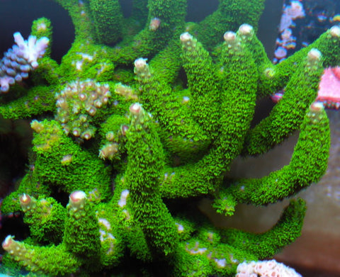 Green with Peach Tips Acropora Florida