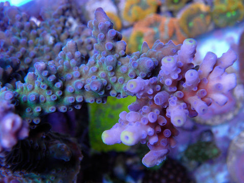 WWC Yellow Tips Acropora Tortuosa
