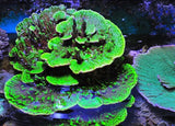 Green with Violet Tips Montipora Spongodes