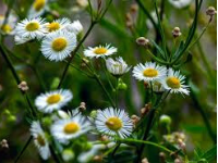 Roman Chamomile Floral Water (Hydrosol)