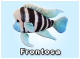 "12"" Frontosa"