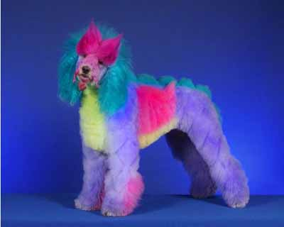 Multi coloured poodle