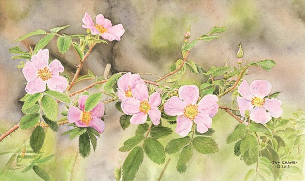 WILD MYSTIC ROSE by Jon Crane -- Fine Art Watercolors