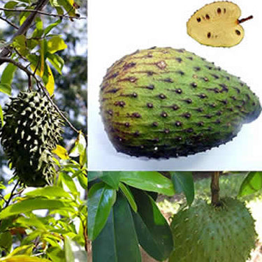 #1 Fresh Raw Soursop Fruit Hand Picked