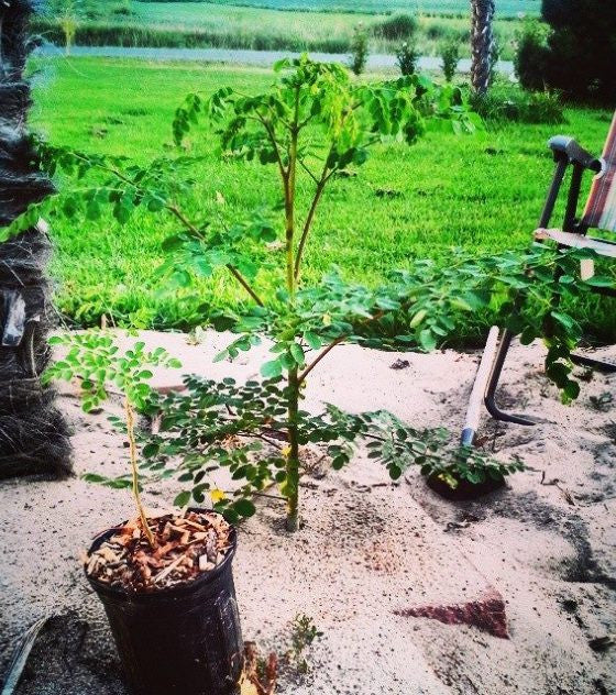 #1 RAW MORINGA Tree, Sprig, Or Root Sale