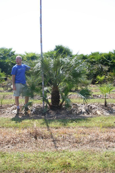 European Fan Palms